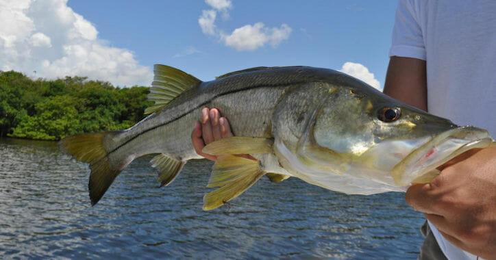 Snook Fishing In Florida | Florida Snook Fishing Guides